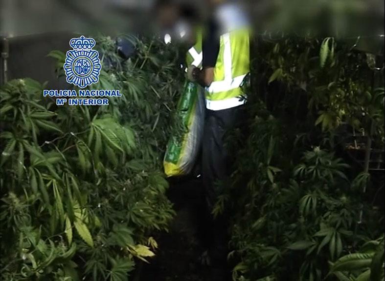 112 paquetes cogollos marihuana